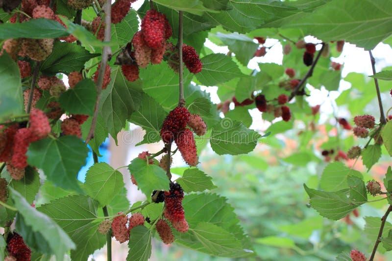 Morwowe owoc zdjęcia royalty free