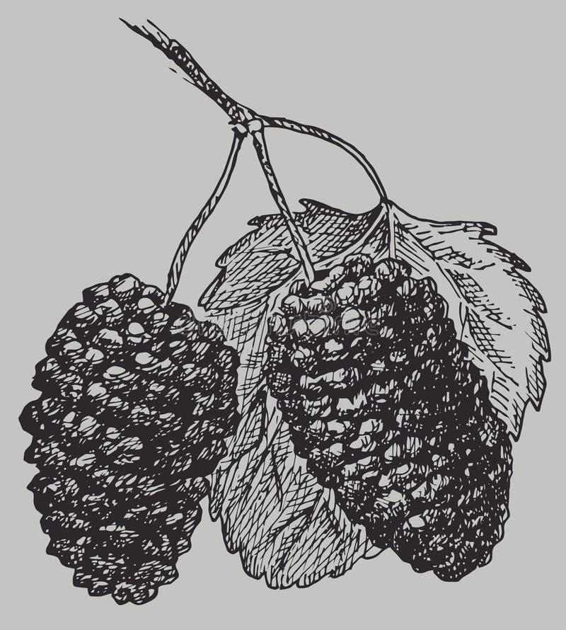 Morwy na gałąź z liściem Jagoda rocznika wektoru rysunek royalty ilustracja
