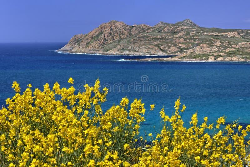 Morze Śródziemnomorskie blisko Ile Rousse z żółtymi mioteł roślinami, Balagne, Północny Corsica, Francja obraz stock