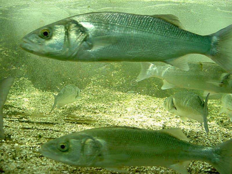 morze bass obrazy royalty free