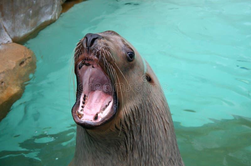 morze lwa zdjęcia stock
