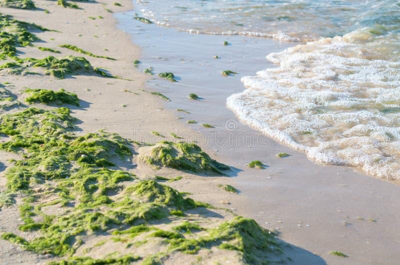 Morze plaża zanieczyszczająca z zielonymi algami, kipiel obraz stock
