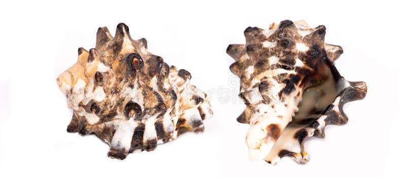Download Morze Skorupy Od Cerithiidae Rodziny Obraz Stock - Obraz złożonej z retro, dekoruje: 28967725