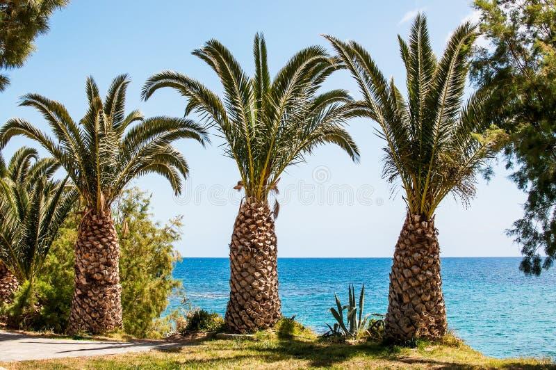 Morzy Śródziemnomorskich drzewka palmowe na nadmorski, Crete, Grecja zdjęcia stock