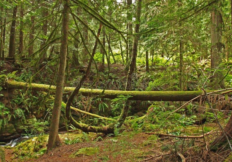 Mos behandelde bomen in het gematigde regenwoud stock foto