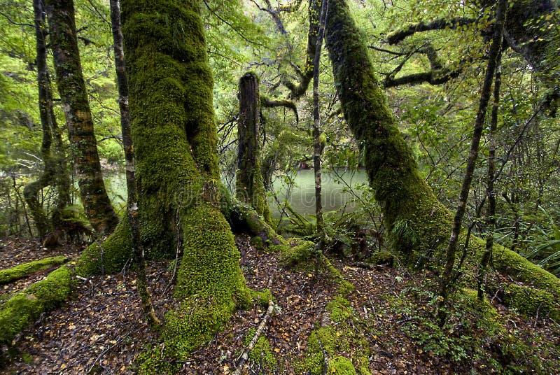 Mos behandelde bomen, het Nationale Park van Fiordland, Zuideneiland, Nieuw Zeeland royalty-vrije stock afbeeldingen