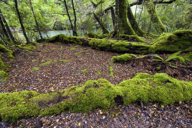 Mos behandelde bomen, het Nationale Park van Fiordland, Zuideneiland, Nieuw Zeeland stock foto