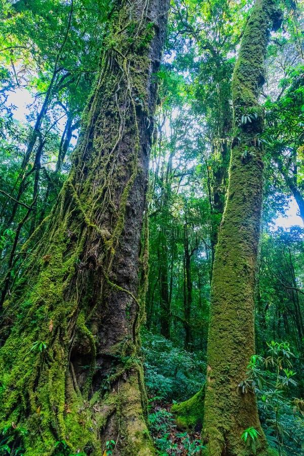 Mos behandelde bomen in het regenwoud stock afbeeldingen