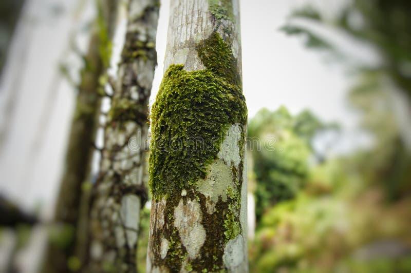 Mos bij pinangpalmboomstammen stock foto's