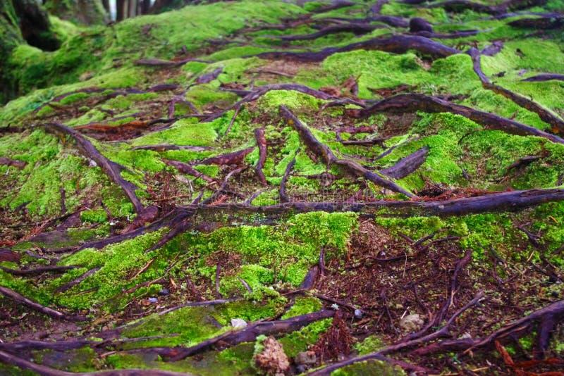 Mos door boomwortels die wordt omringd royalty-vrije stock afbeelding