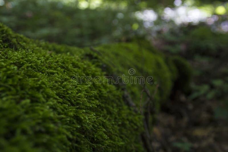 Mos-gekweekte boom in het bos stock fotografie