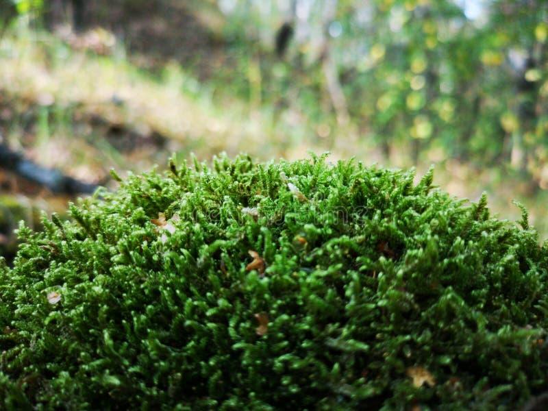 Mos het groeien in de diepten van het bos stock afbeelding