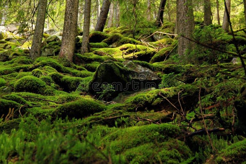 Mos in het bos van de bergen van de Karpaten royalty-vrije stock foto's