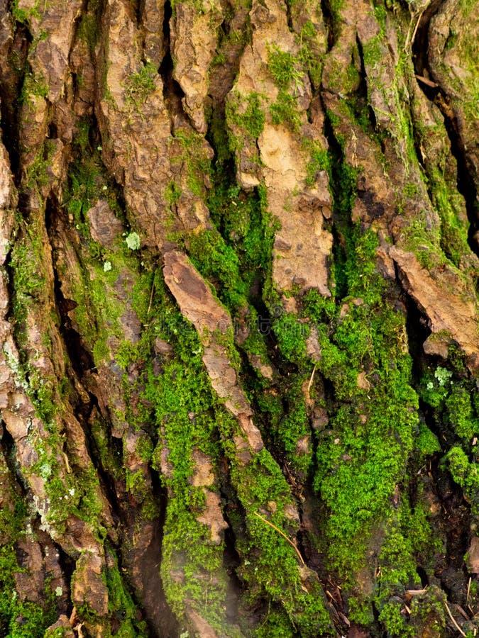 Mos het groeien op boomschors stock foto's