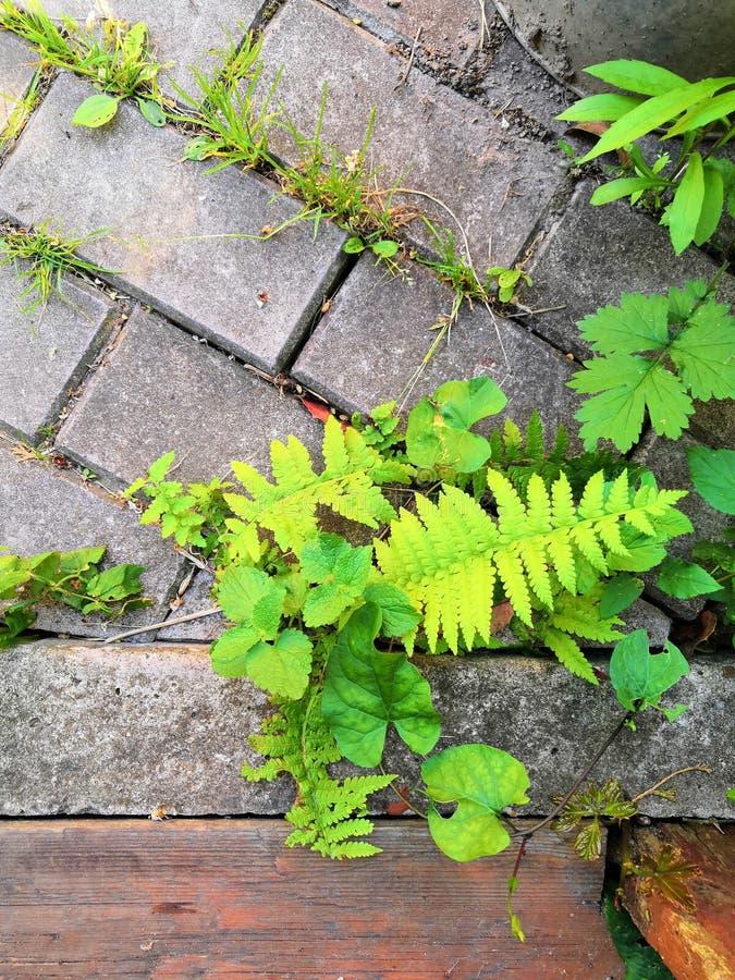 Mos na ściany z cegieł teksturze zielonej rośliny i mos dorośnięcie na ściana z cegieł sześciokącie kształtuje Mech tekstura zdjęcia royalty free