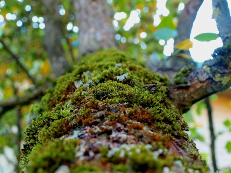 Mos op de boomstam van een peer stock afbeeldingen