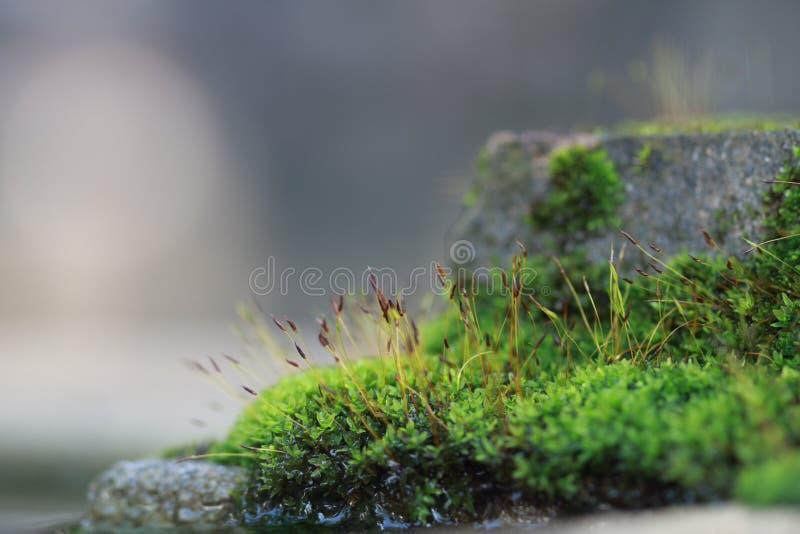 Mos sporophyte bij de cementbouw stock afbeeldingen