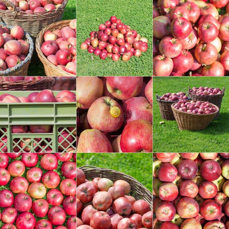 Mosaico empilhado da compilação da colheita de Apple imagem de stock