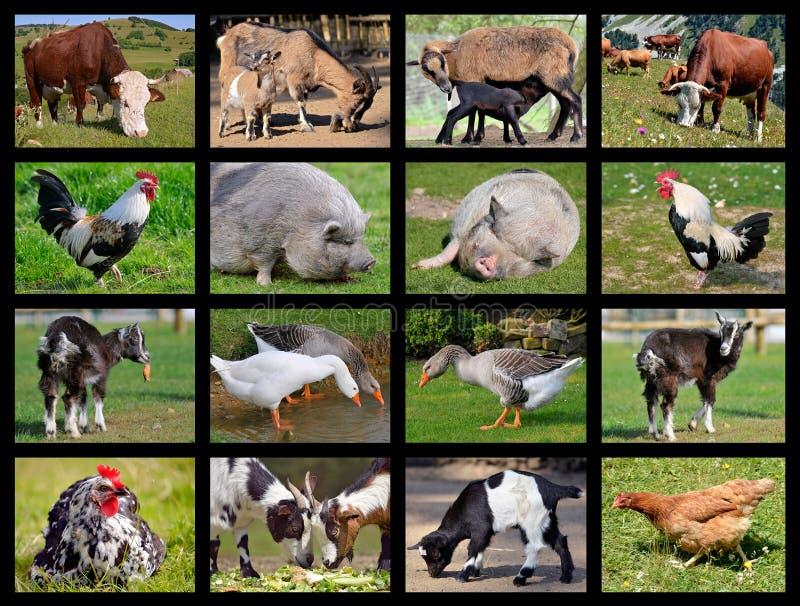 Mosaik för lantgårddjur arkivfoto