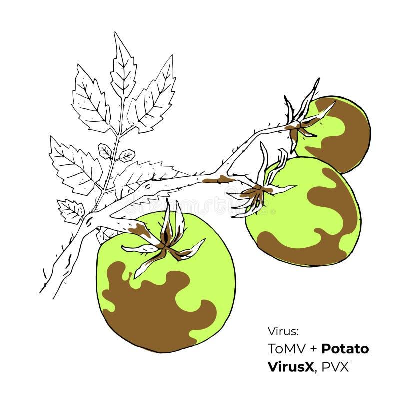 Mosaisk virus för tomat med potatisen VirusX royaltyfri foto