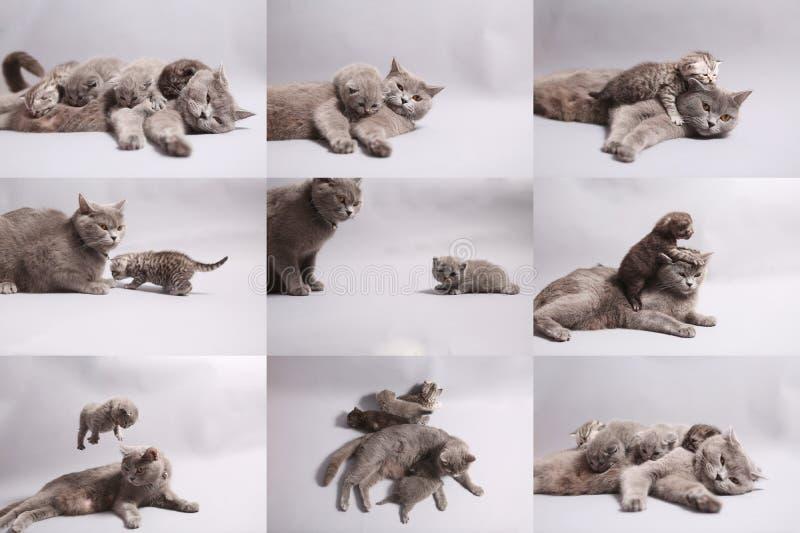 Mosaiska foto av brittiska Shorthair kattungar royaltyfria foton