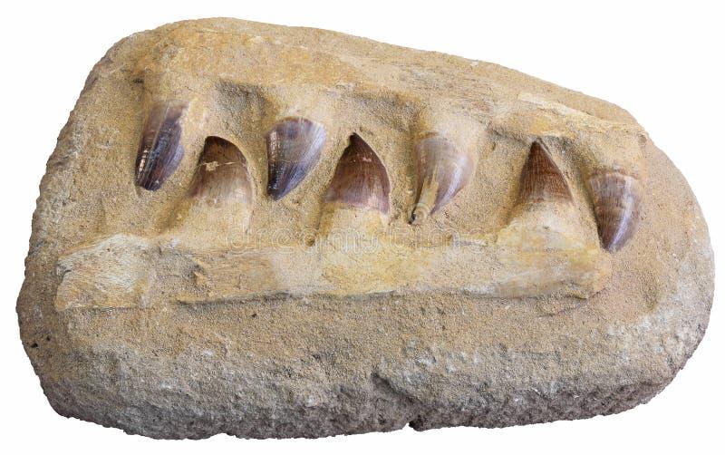 Mosasaur fósil de los dientes foto de archivo libre de regalías