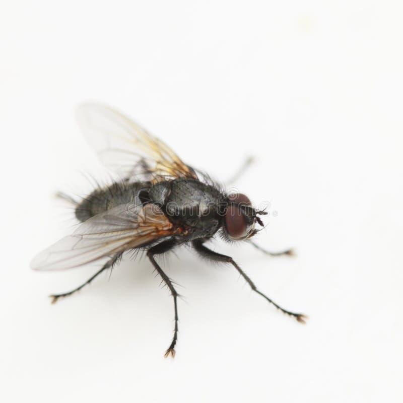 mosca imagen de archivo