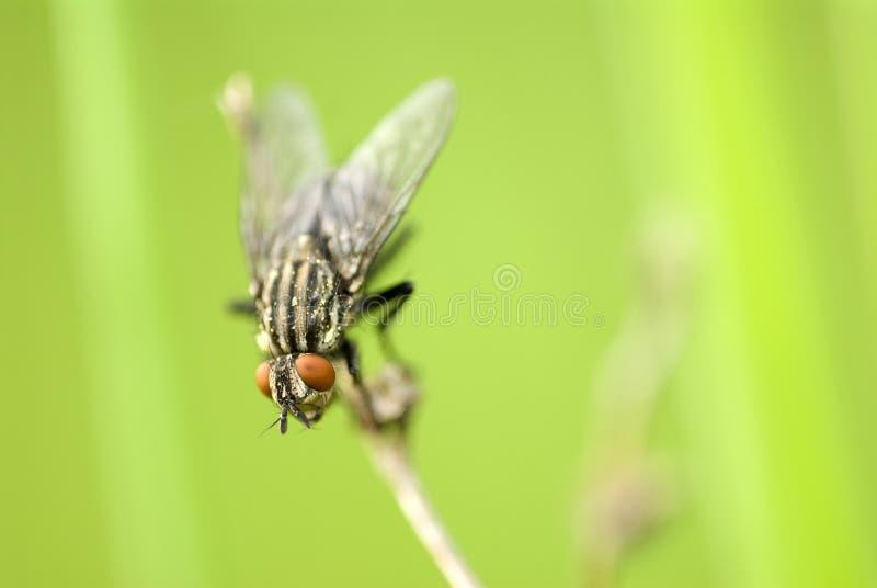Download Mosca fotografia stock. Immagine di verde, mosca, occhi - 7307484