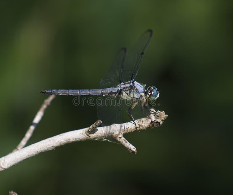 Mosca azul do dragão foto de stock royalty free