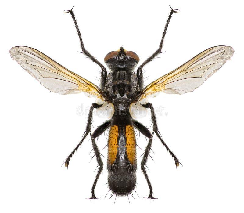 Mosca Cylindromyia di Tachinid su fondo bianco fotografie stock