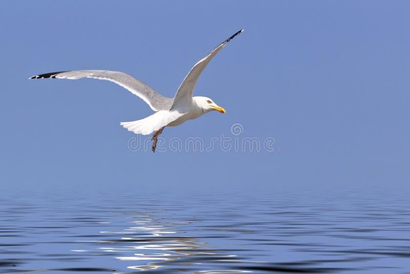 Mosca da gaivota sobre o oceano imagens de stock royalty free