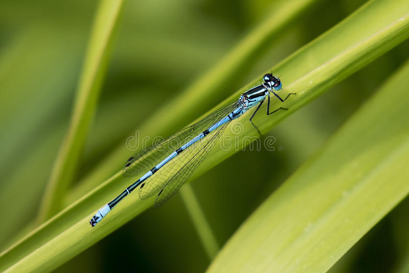 Mosca de Azure Blue Damsel fotografia de stock