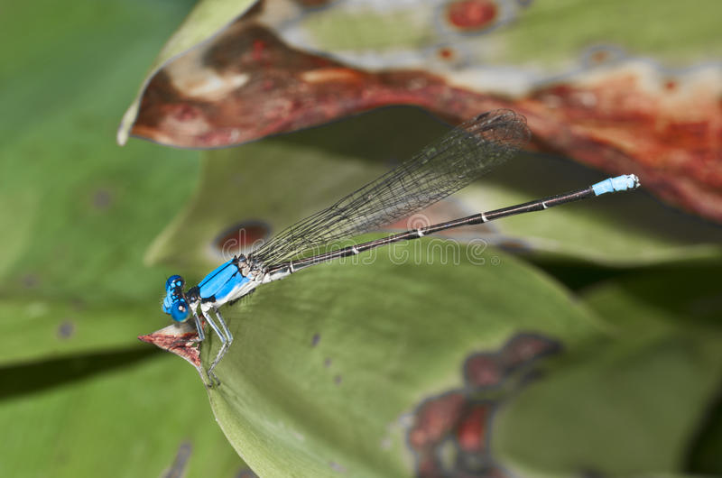 Mosca de BlueDamsel (Zygoptera) fotografia de stock