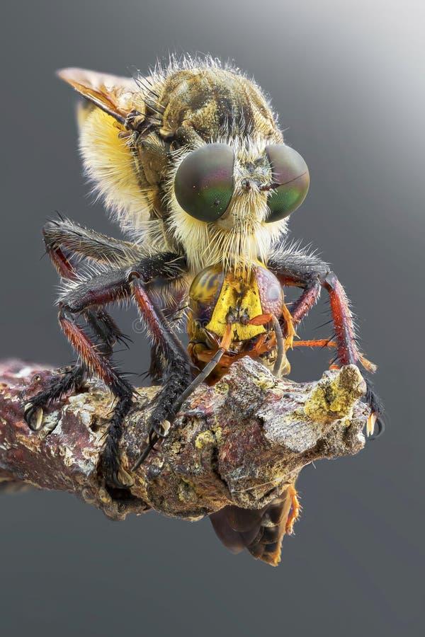 mosca de ladrón que come una avispa en fotografía macra foto de archivo