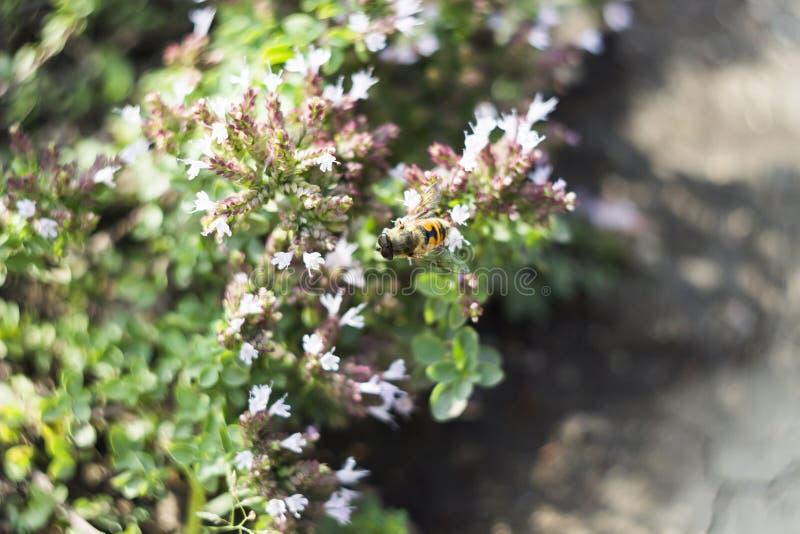 Mosca del abejón y x28; Tenax& x29 de Eristalis; en la flor imágenes de archivo libres de regalías