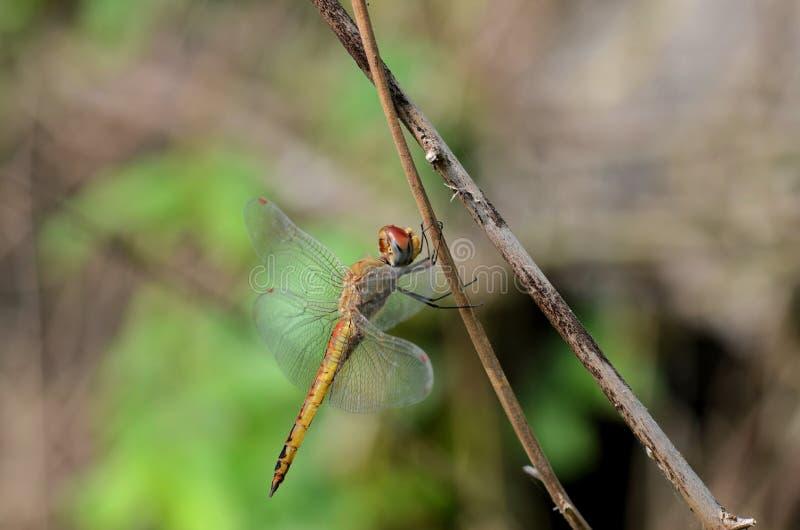 Mosca del drago in una fotografia del primo piano immagini stock