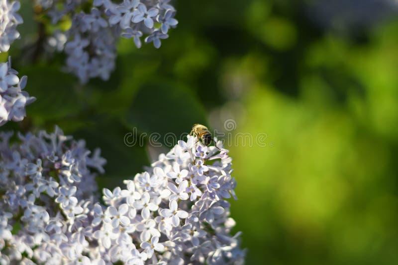 Mosca del fiore sui fiori lilla fotografia stock