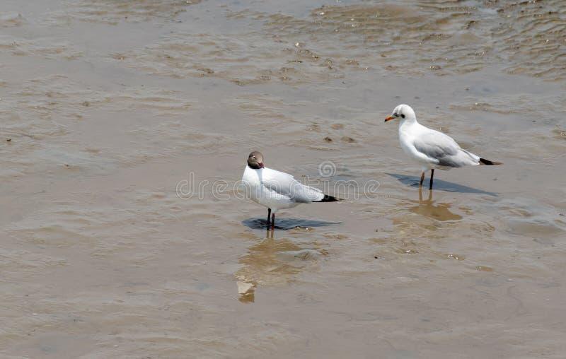 Mosca del gabbiano dell'uccello alla località di soggiorno Samutprakarn di Bangpoo fotografia stock