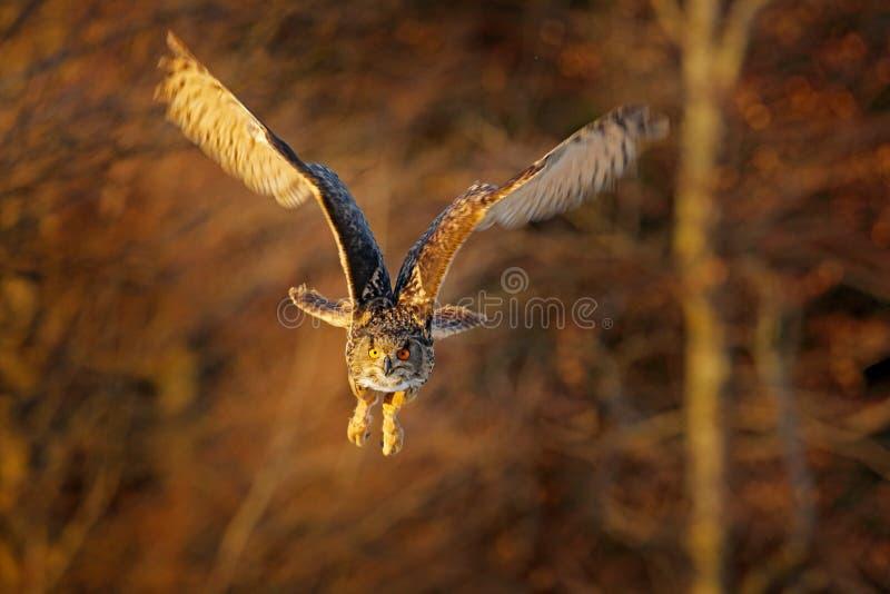 Mosca del gufo, eurasian Eagle Owl, bubo di volo della foresta del Bubo, con le ali aperte nell'habitat della foresta, alberi ara immagini stock libere da diritti