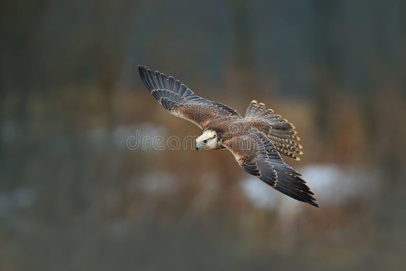 Mosca del halcón de Saker, cherrug de Falco, pájaro del vuelo de la presa Bosque en invierno frío, animal en el hábitat de la nat foto de archivo libre de regalías