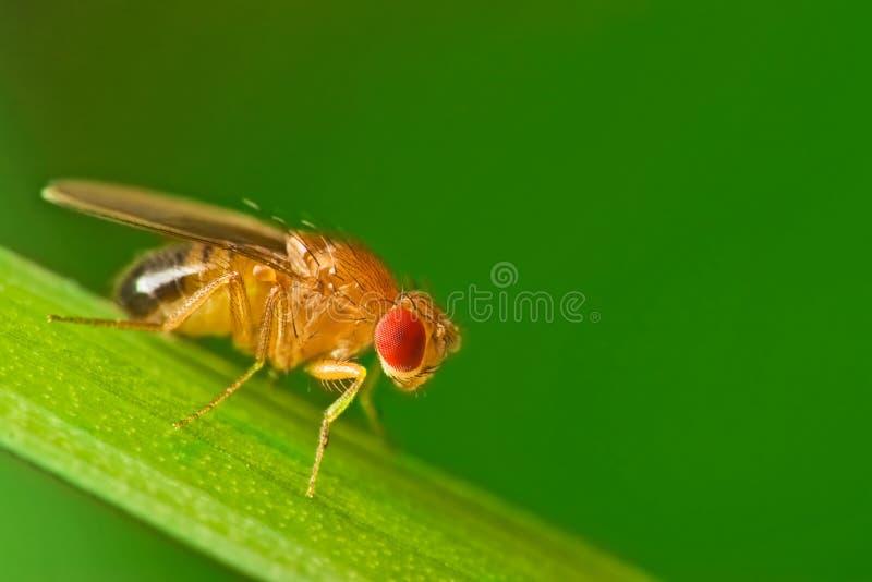 Mosca del vinagre masculina en una lámina de la macro de la hierba fotografía de archivo
