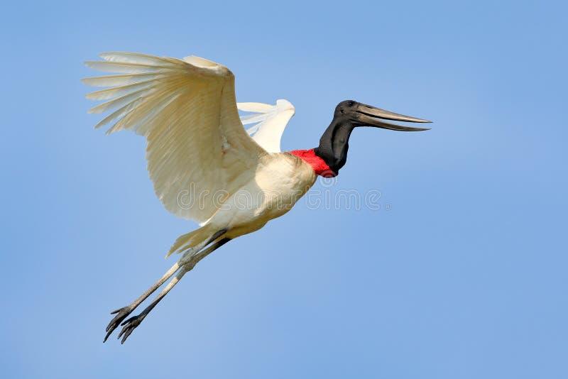 Mosca dell'uccello del Brasile Jabiru, mycteria di Jabiru, uccello bianco volante con cielo blu, Pantanal, Brasile Grande uccello immagine stock