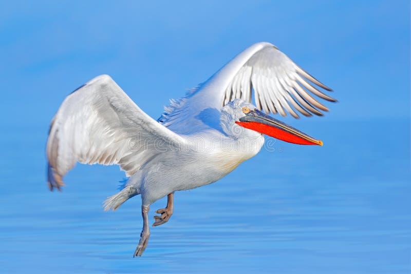 Mosca dell'uccello Pellicano dalmata, crispus del Pelecanus, atterrante nel lago Kerkini, la Grecia Pellicano con le ali aperte S fotografia stock