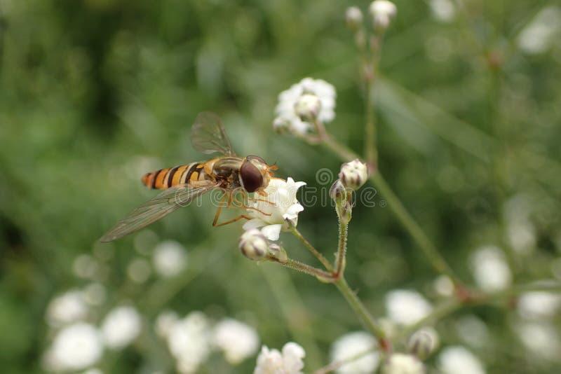Mosca di librazione su un piccolo fiore bianco del Gypsophila fotografie stock libere da diritti
