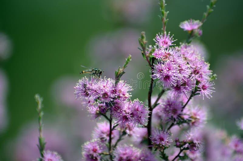 Mosca di librazione sui fiori viola australiani di Kunzea fotografie stock