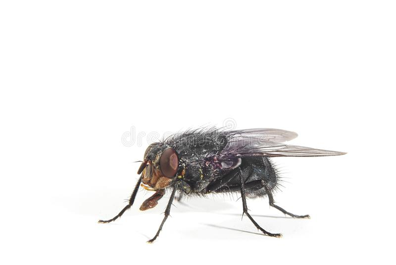 Mosca do Bluebottle imagem de stock royalty free