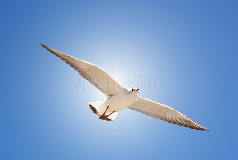 Mosca do pássaro no céu azul Fundo do céu Voo de pássaro lindo com céu azul A gaivota paira no ar azul profundo Gaivota que caça  fotos de stock royalty free