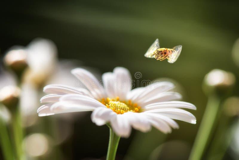 Mosca do pairo acima do nome latin Syrphidae da margarida branca foto de stock
