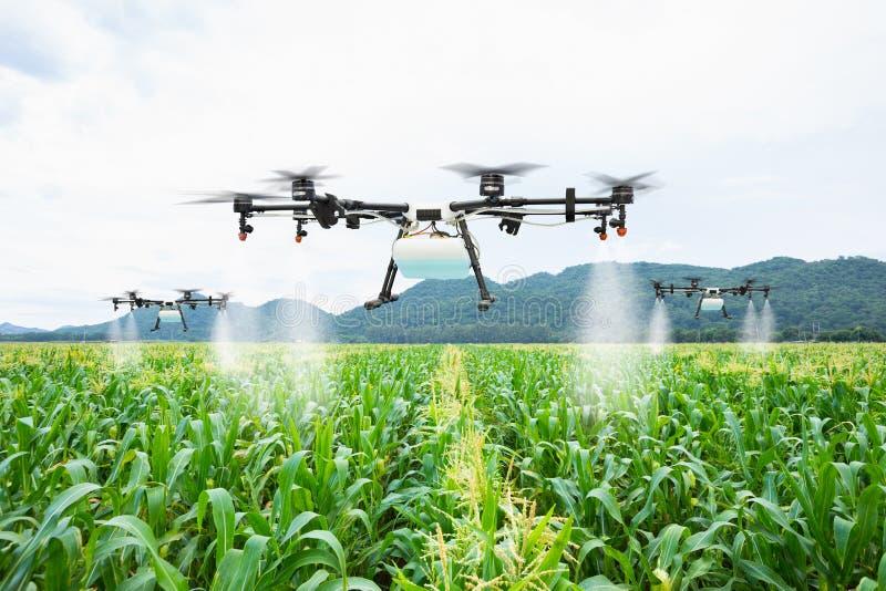 Mosca do zangão da agricultura ao adubo pulverizado nos campos de milho doce fotografia de stock