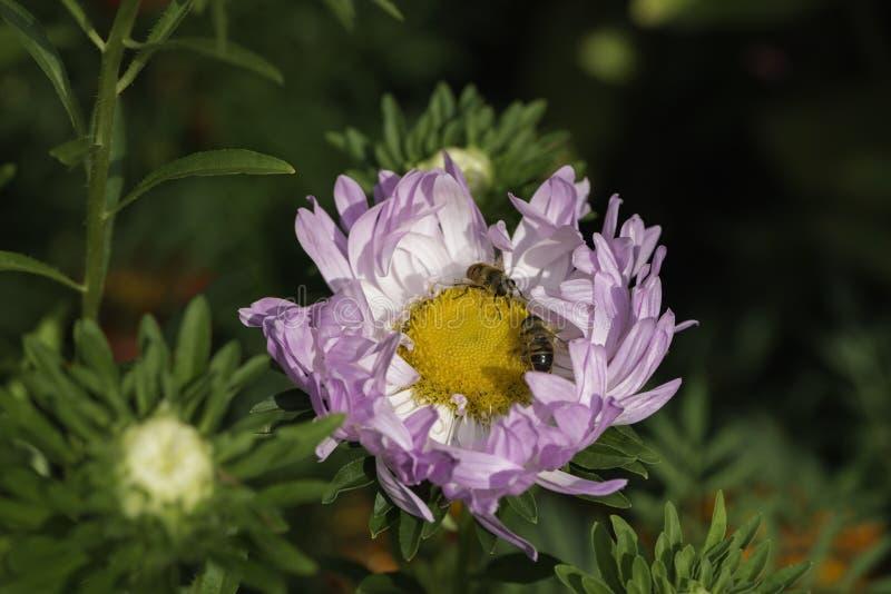 Mosca do zangão de Eristalis tenax na flor no jardim fotografia de stock royalty free